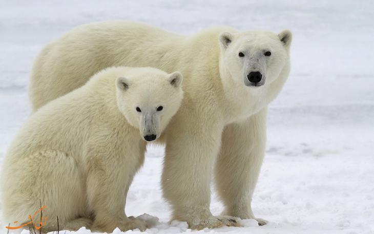 آیا می دانید پایتخت خرس های قطبی جهان کجاست؟