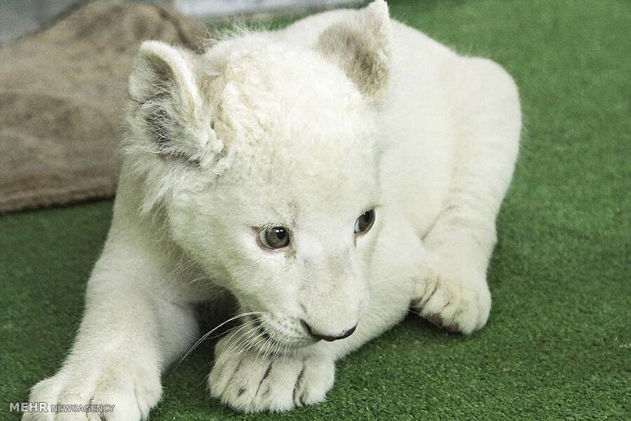 تلف شدن بچه شیر سفید در باغ وحش هویزه