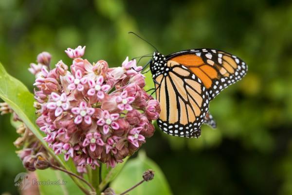 چرا پروانه ها، فرزندان خود را می خورند؟